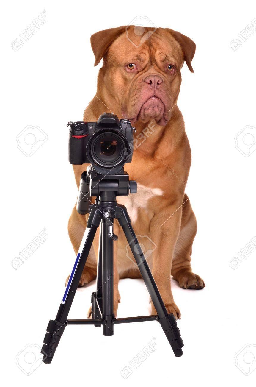 Dogue De Bordeaux photographer with camera, studio shot - 11550592