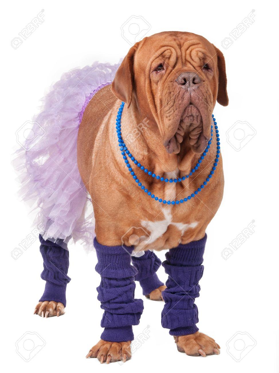 Big dogue de bordeaux dressed like ballerina isolated on white Stock Photo - 11550618