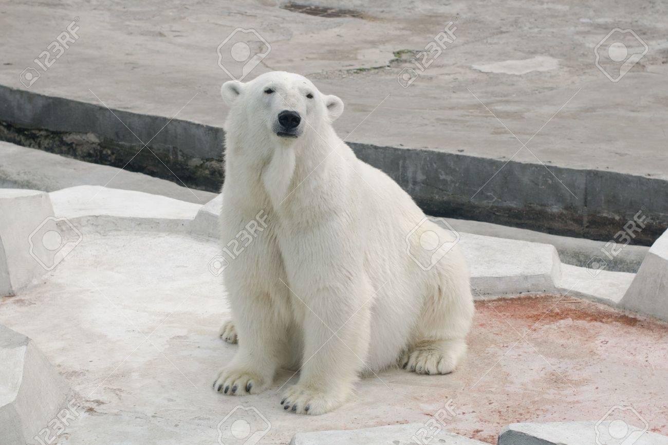Polar white bear sitting Stock Photo - 11685346