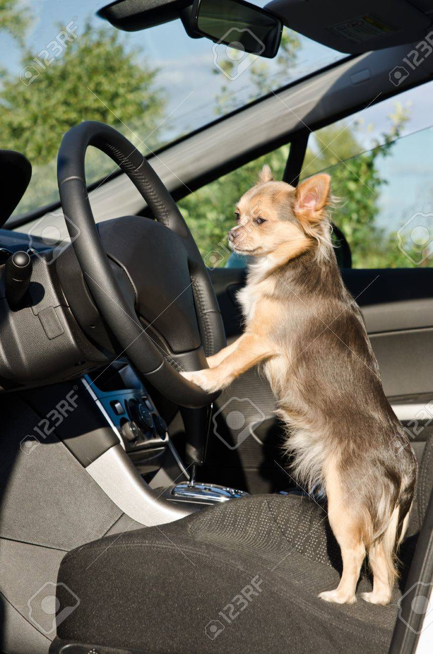 Chihuahua Driver Dog With Paws On Steering Wheel Of A Car Stock Photo