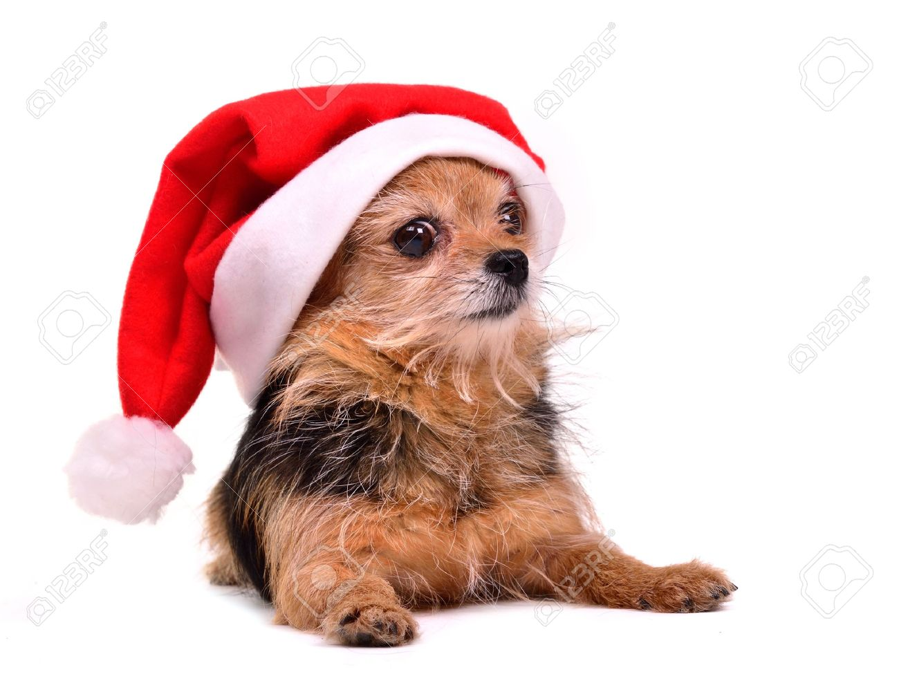 7a92f018a89d3 Christmas Dog Wearing Red Santa Hat