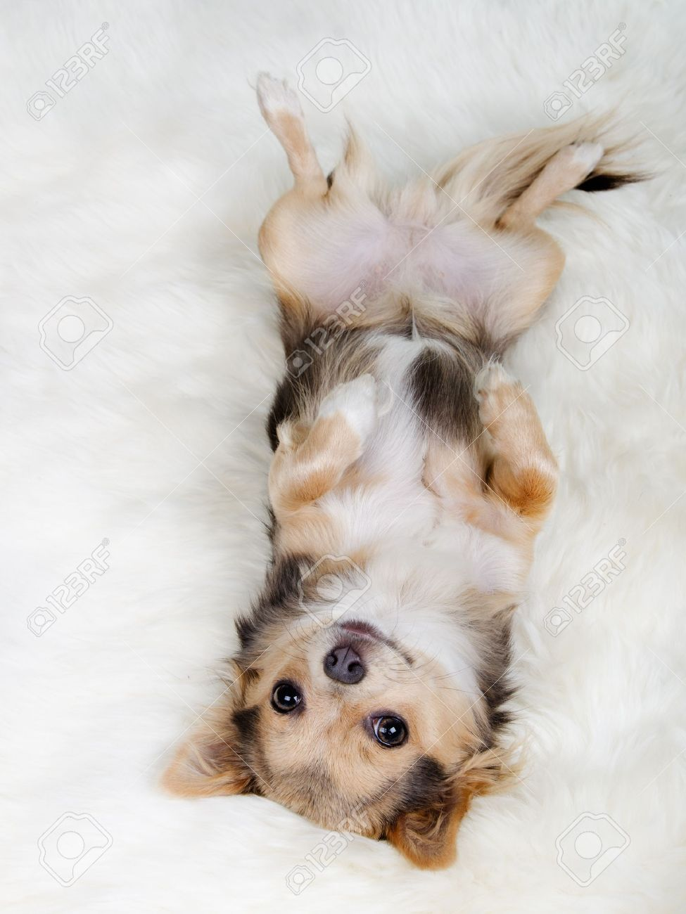 Chihuahua puppy lying on her back on white fluffy fur Stock Photo - 11693914