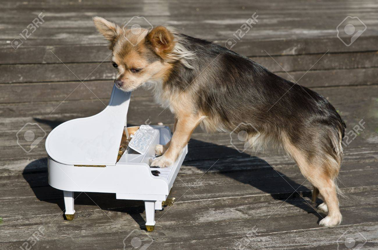 Maestro chihuahua dog is playing on piano at sunny wooden  stage Stock Photo - 11697533