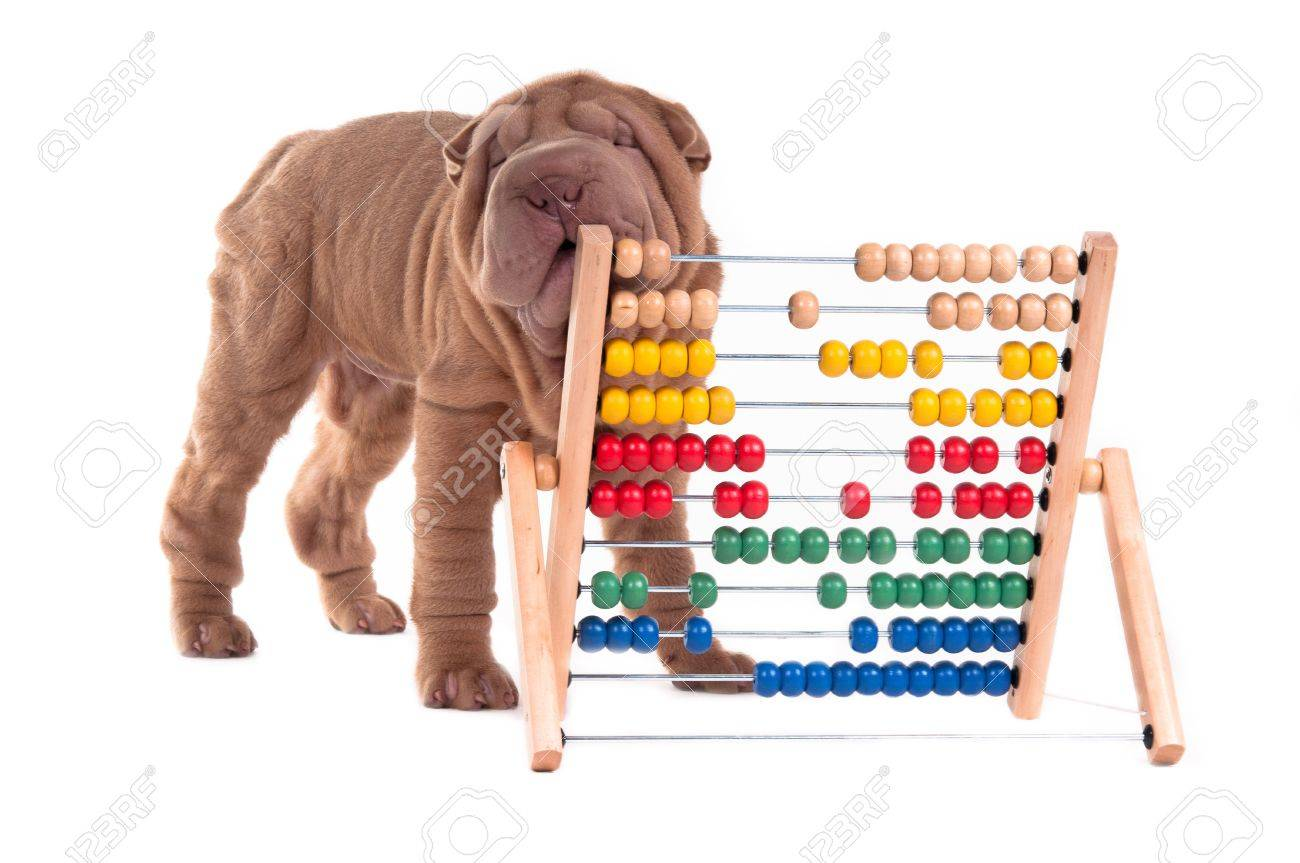 Shar-pei puppy is learning to count with Abacus, isolated on white background Stock Photo - 11694054