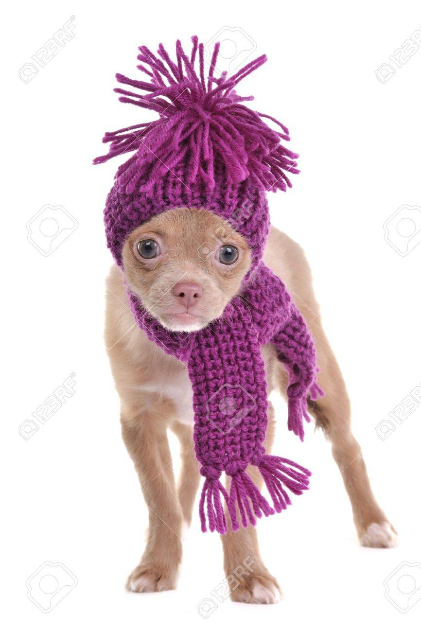 50283017033a4 Adorable chihuahua puppy wearing purple hat and scarf isolated Stock Photo  - 11694035