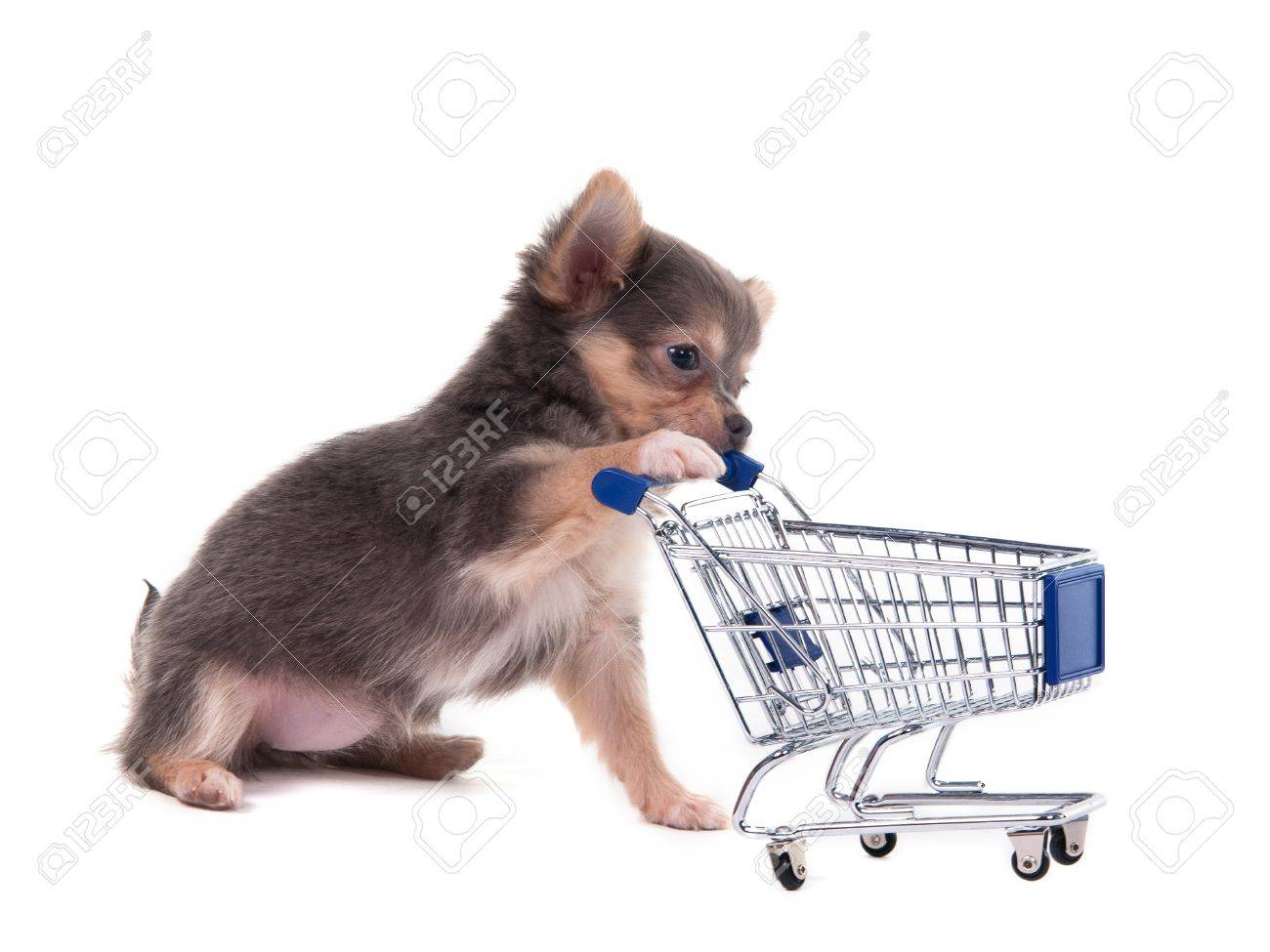 Tiny Chihuahua puppy playing with a supermarket cart Stock Photo - 11693995