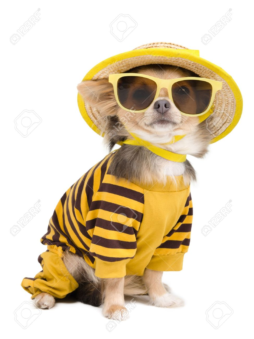 Chihuahua dressed with t-shirt,  straw hat and sun glasses Stock Photo - 12615591