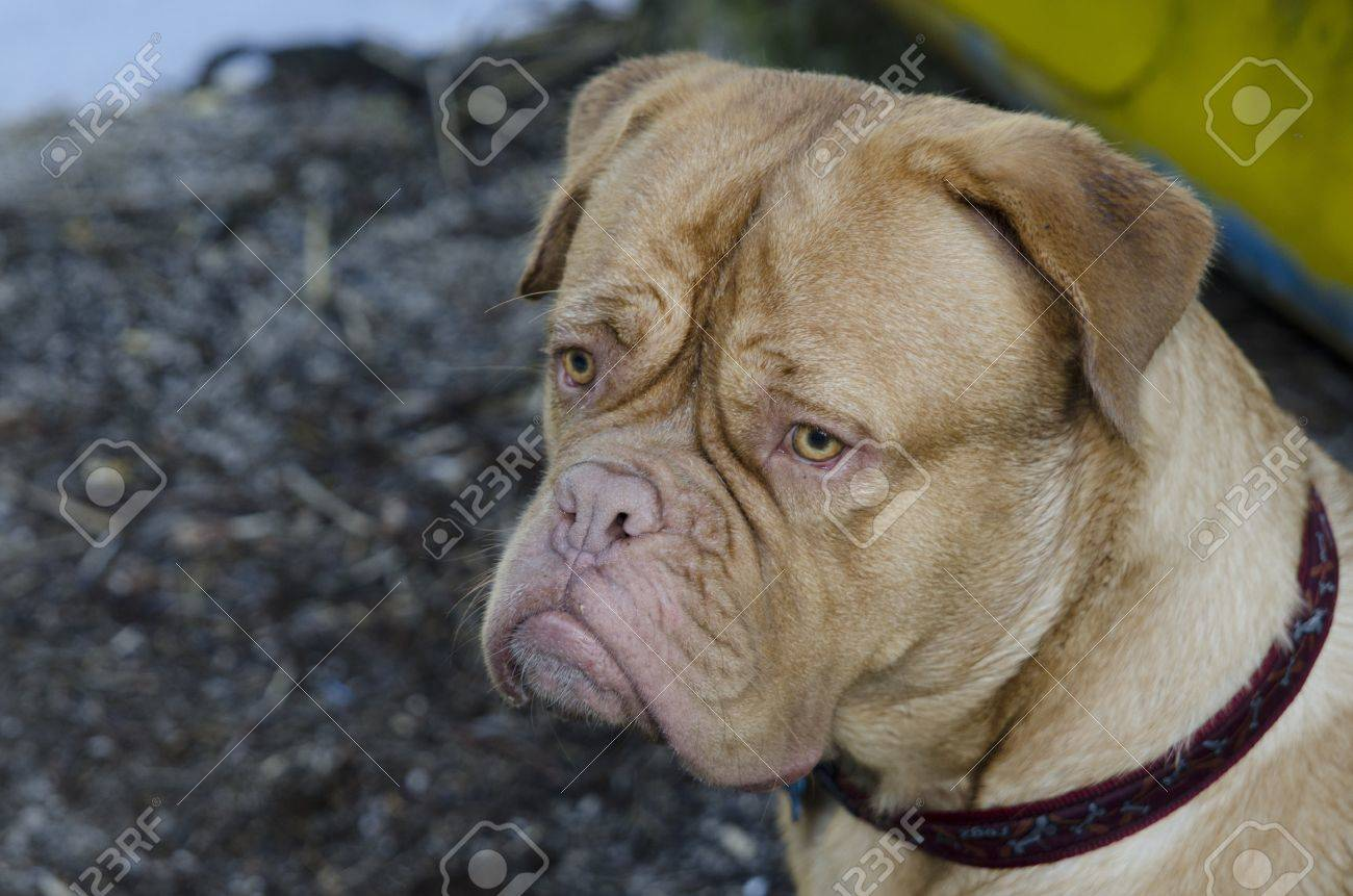 French Mastiff outdoors portrait, close up Stock Photo - 13004504