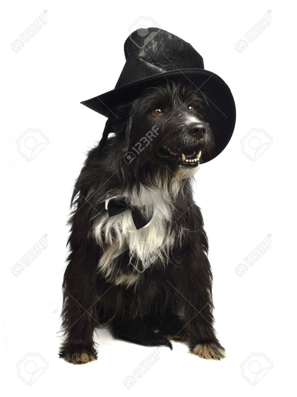 Gentleman dog with bow tie and top hat isolated Stock Photo - 13004444