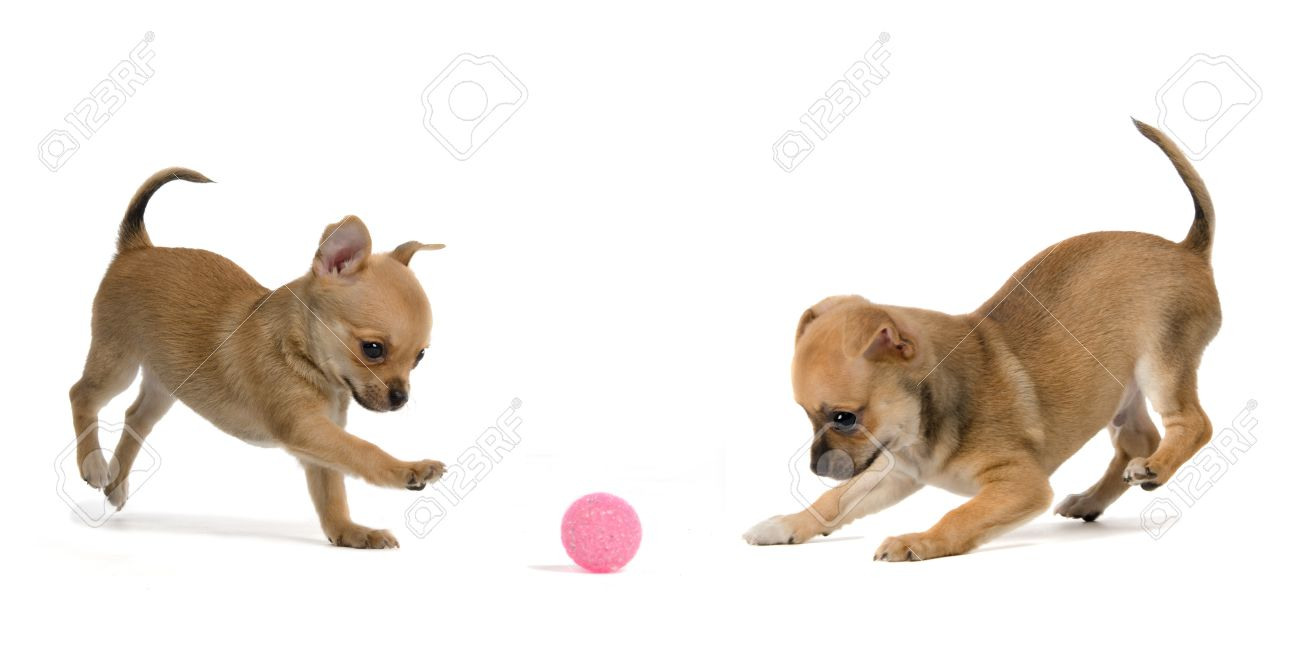 Two Puppies Playing Ball Isolated On White Background