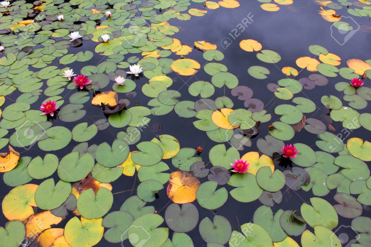 Water Lily Pond Stock Photo Picture And Royalty Free Image Image