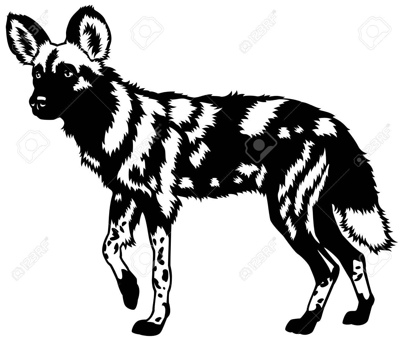 African wild doglycaon pictusanimal of africablack and white image stock