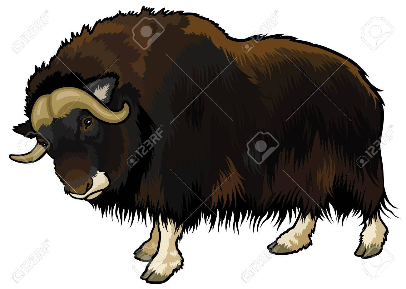 muskox,ovibos moschatus,animal of arctic,side view picture isolated on white background Stock Vector - 18023955