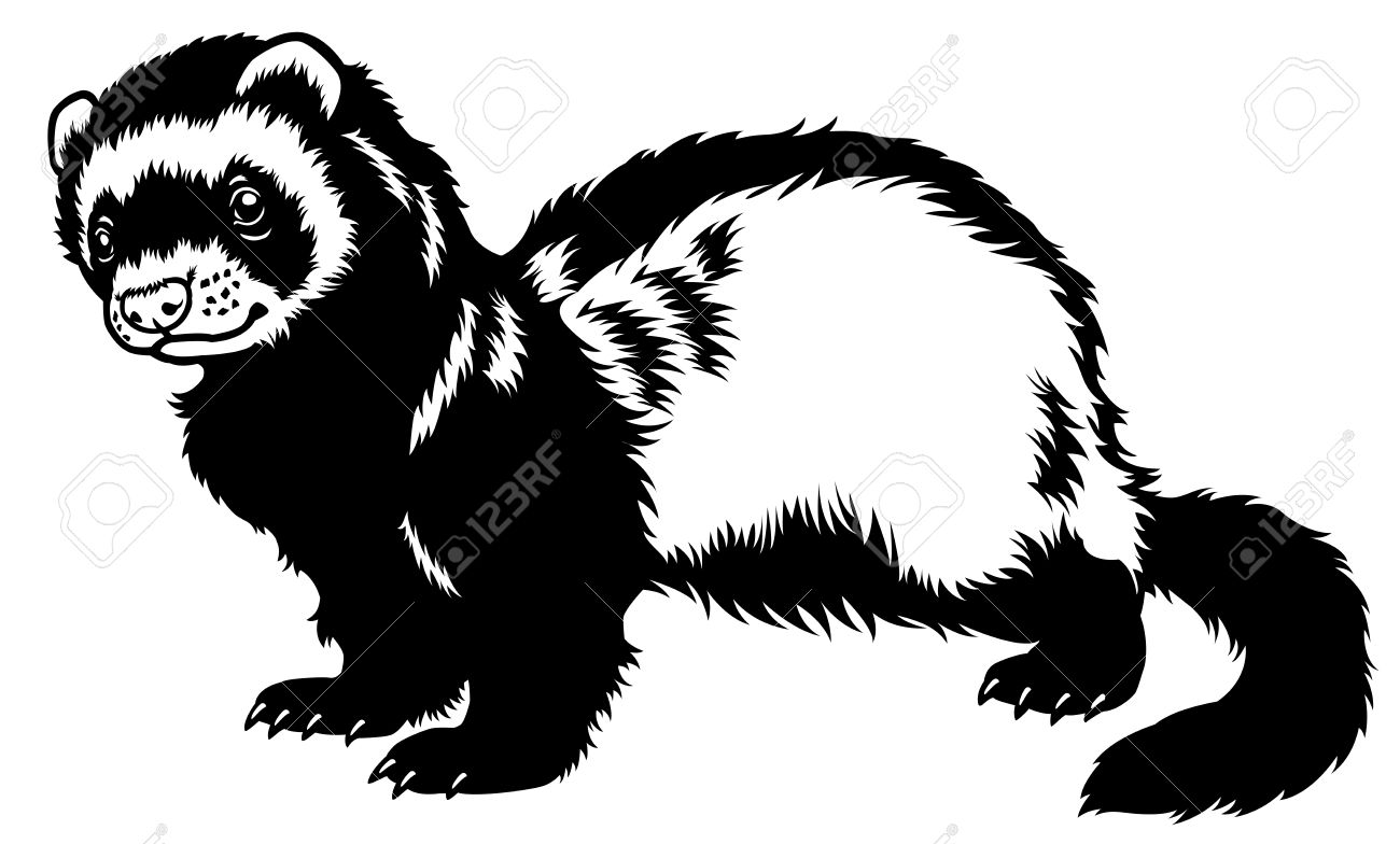 ferret stock photos u0026 pictures royalty free ferret images and