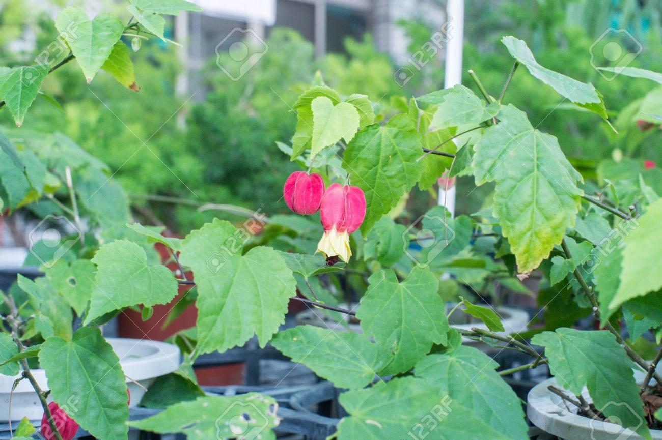 Flowering Maple Trailing Abutilon Brazilian Bell Flower Stock