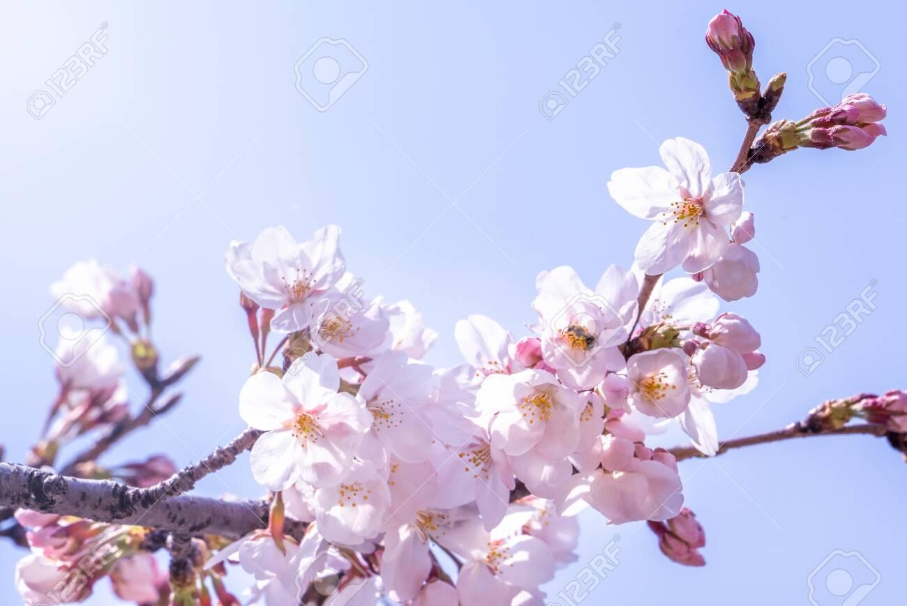 Beautiful yoshino cherry blossoms sakura (Prunus yedoensis) tree bloom in spring in the castle park, copy space, close up, macro. - 120220818