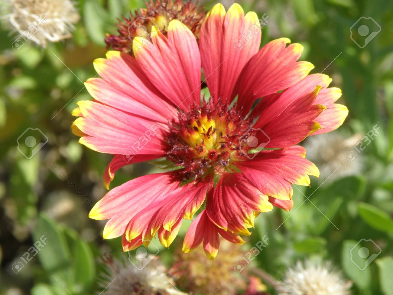 A beautiful red and yellow flower in the morning sun. Stock Photo - 4829370
