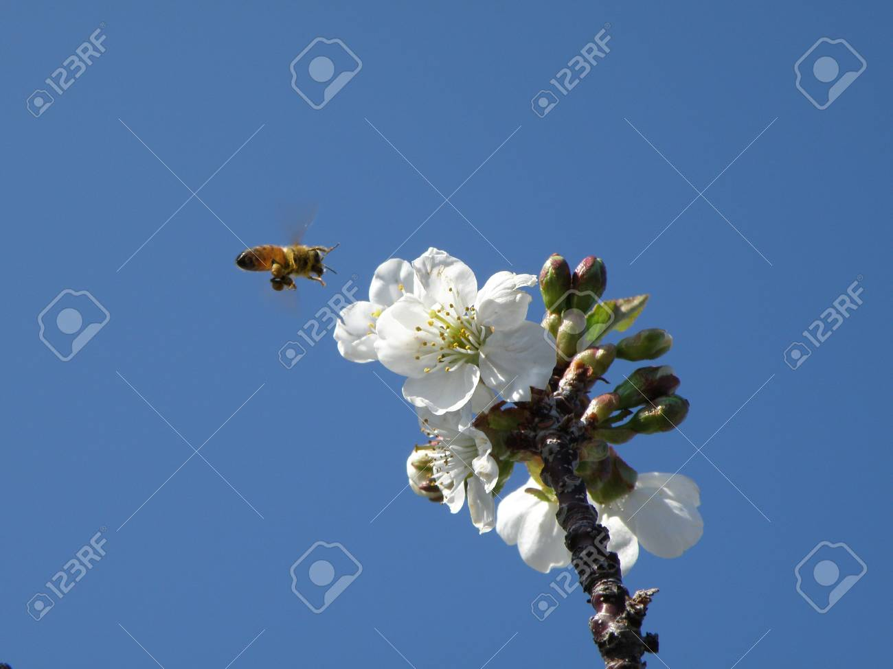 Honey bee preparing to land on a sour cherry blossom. Stock Photo - 4859175