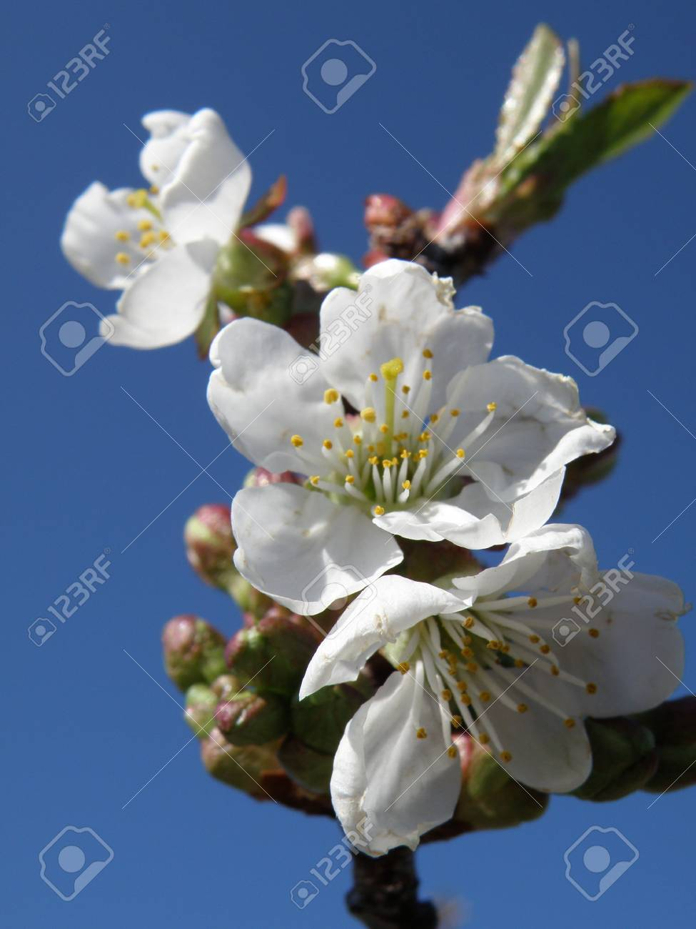 Sour cherry blossoms with deep blue background. Stock Photo - 4859176
