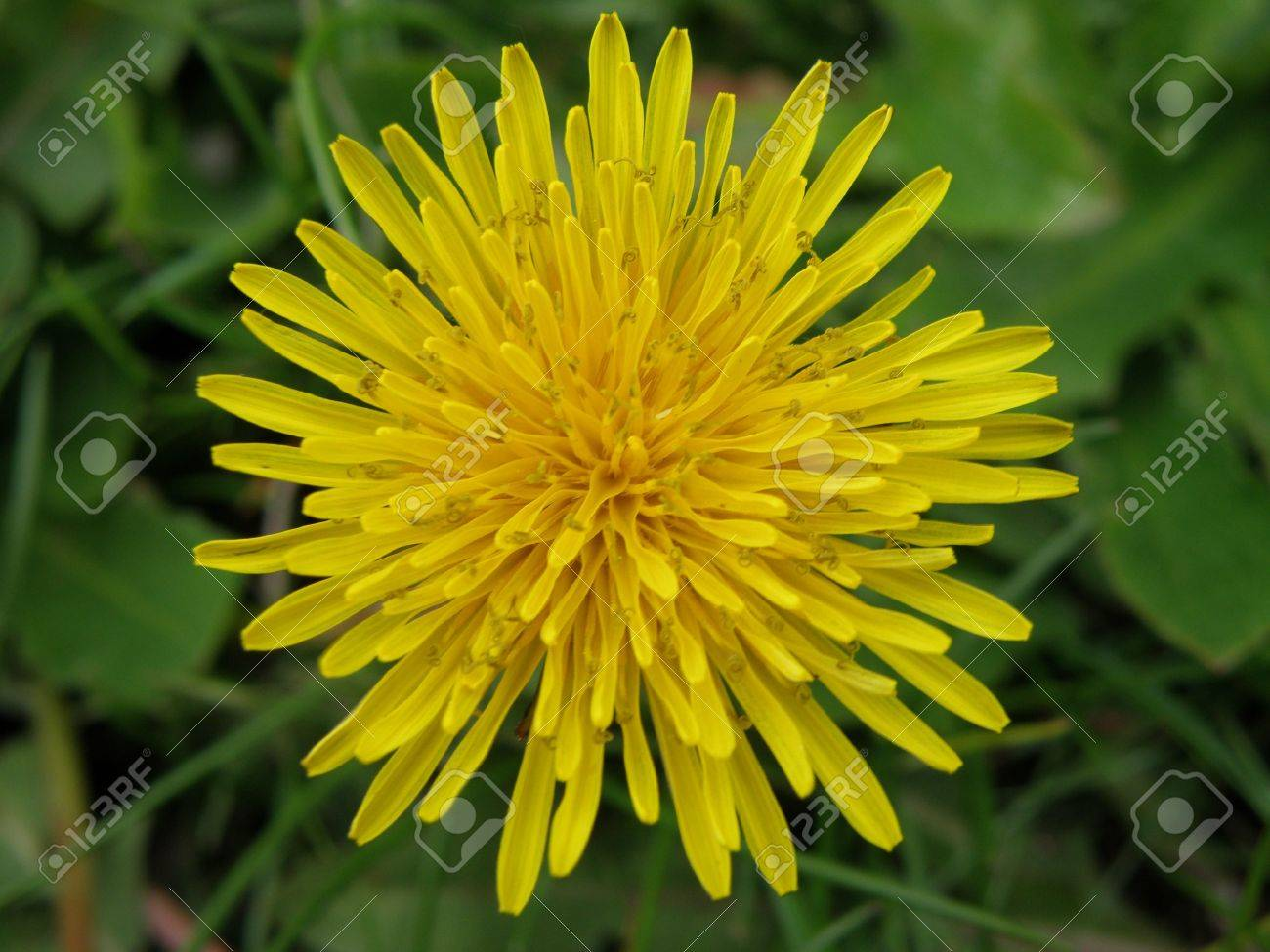 A Bright Yellow Dandelion Detailed Petal Formation Appears Like