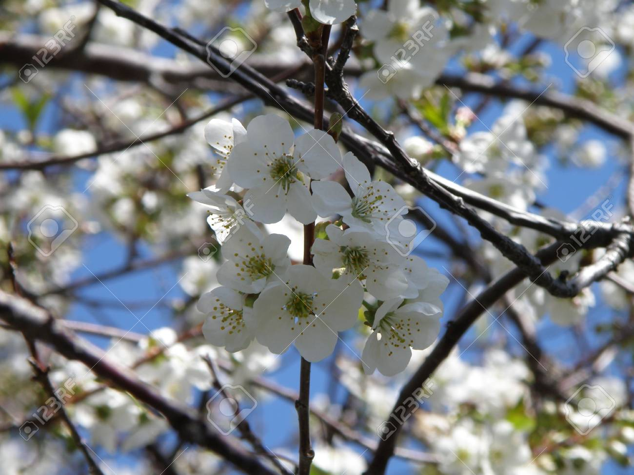 Vibrant white Sour Cherry blossoms in a sun filled orchard. Stock Photo - 4871975