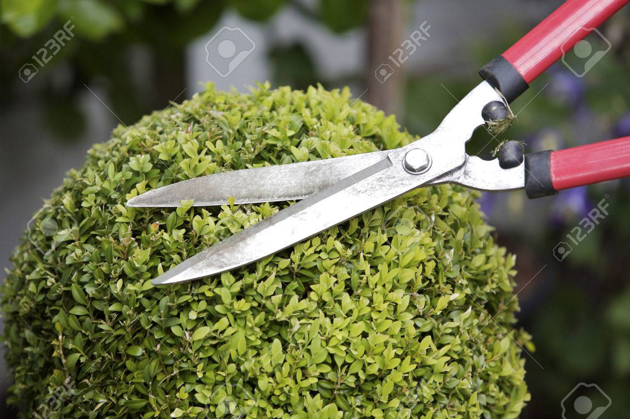 Trimming A Plant With Hedge Clippers Stock Photo, Picture And Royalty Free  Image. Image 26261233.