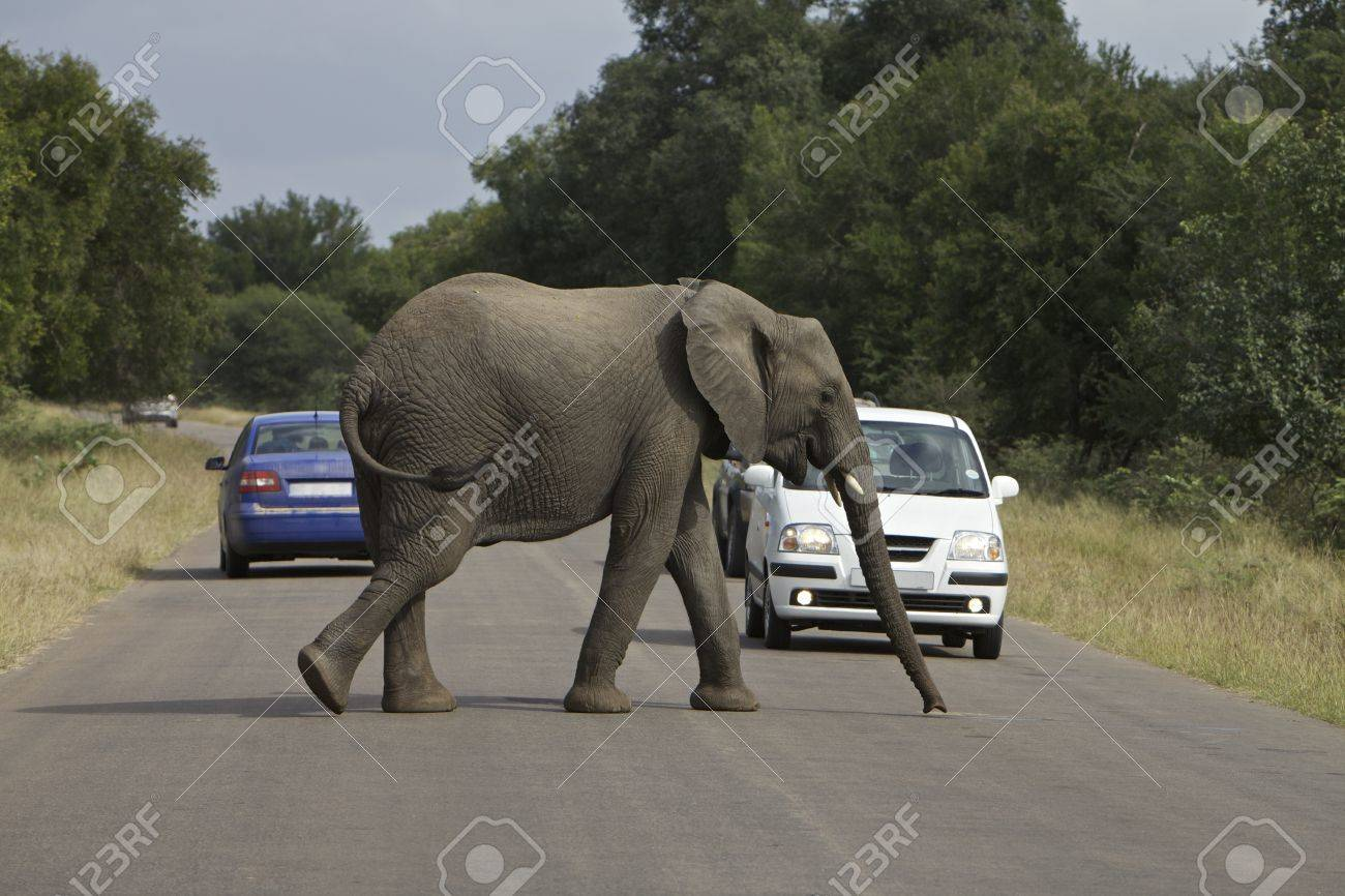 African Elephant Stock Photo - 11056972