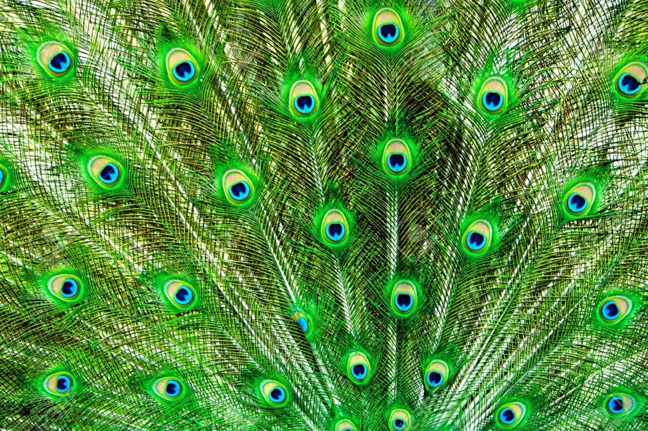 Peacock, Tail Feathers - 14328346