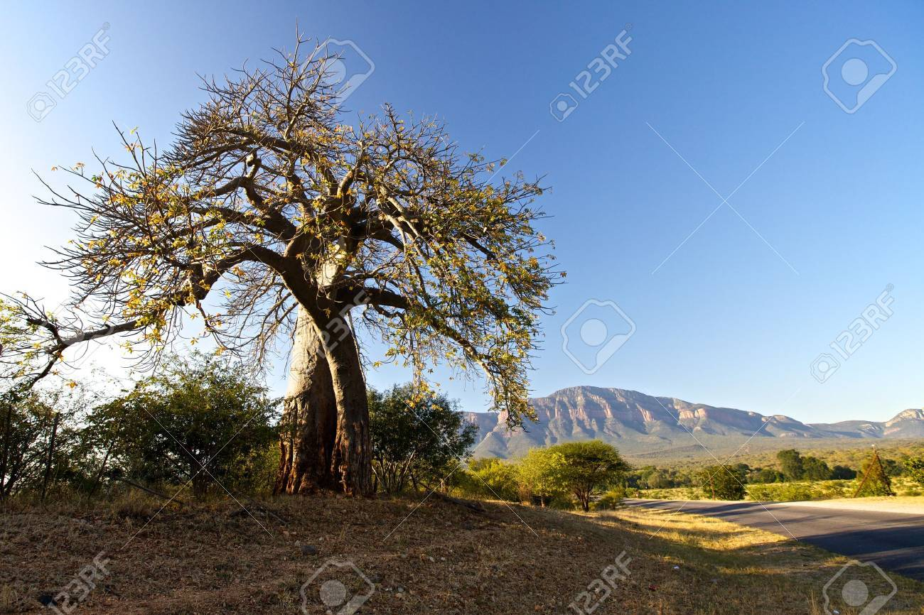 Baobab tree in South Africa - 14950581