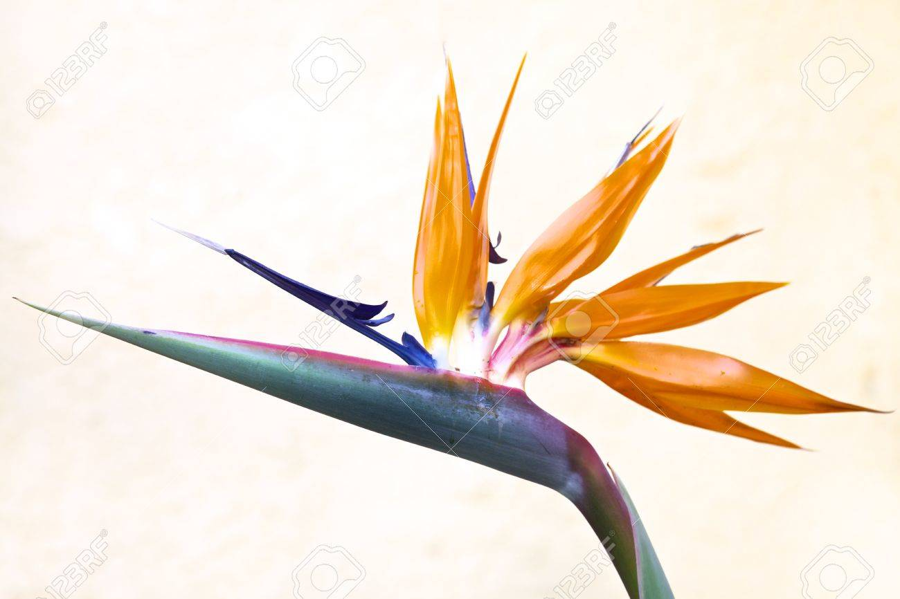 Bird of Paradise, Queenly Strelitzia, flower - 16482172