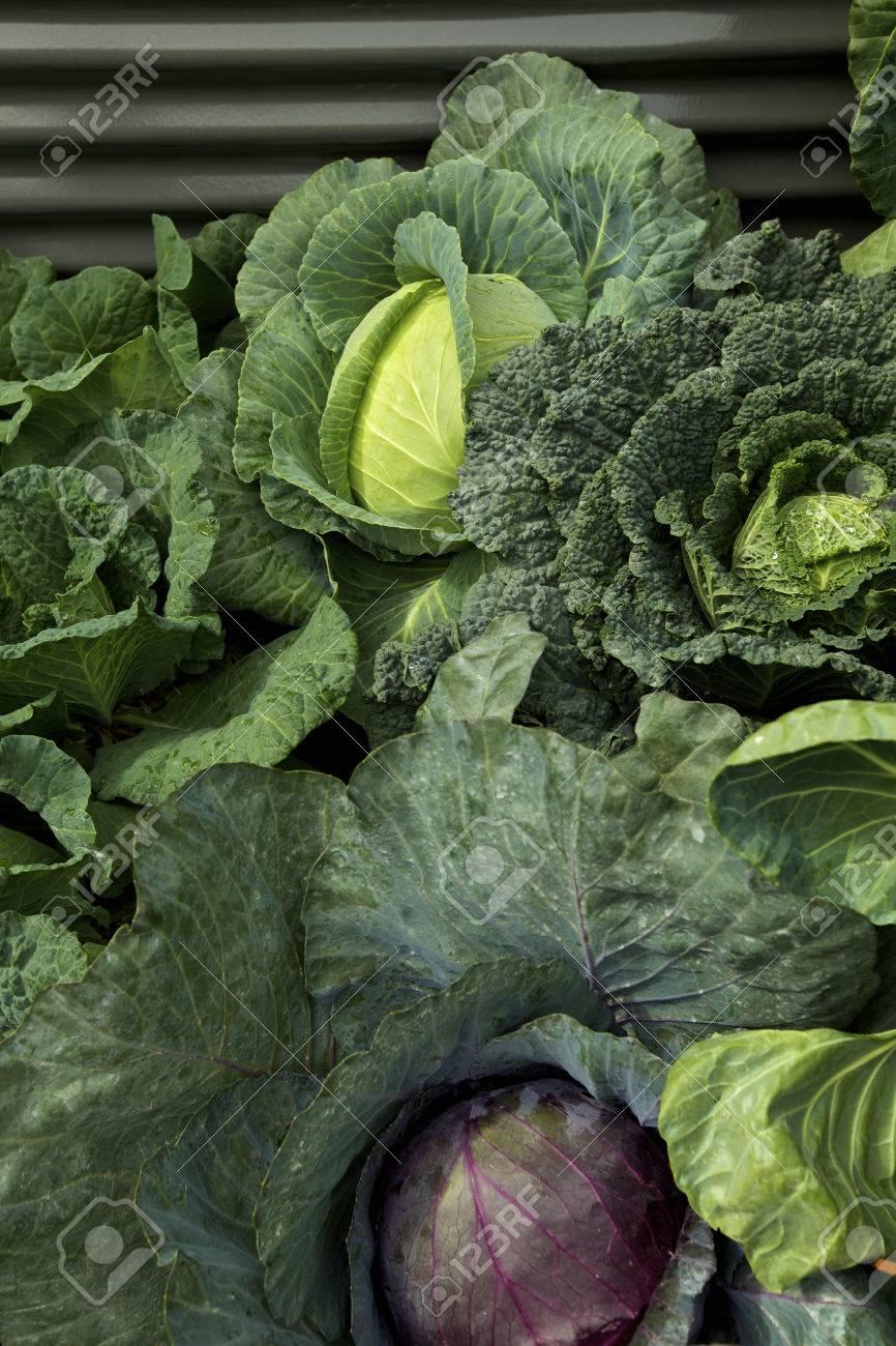 Cabages in a Vegetable Garden - 24034997