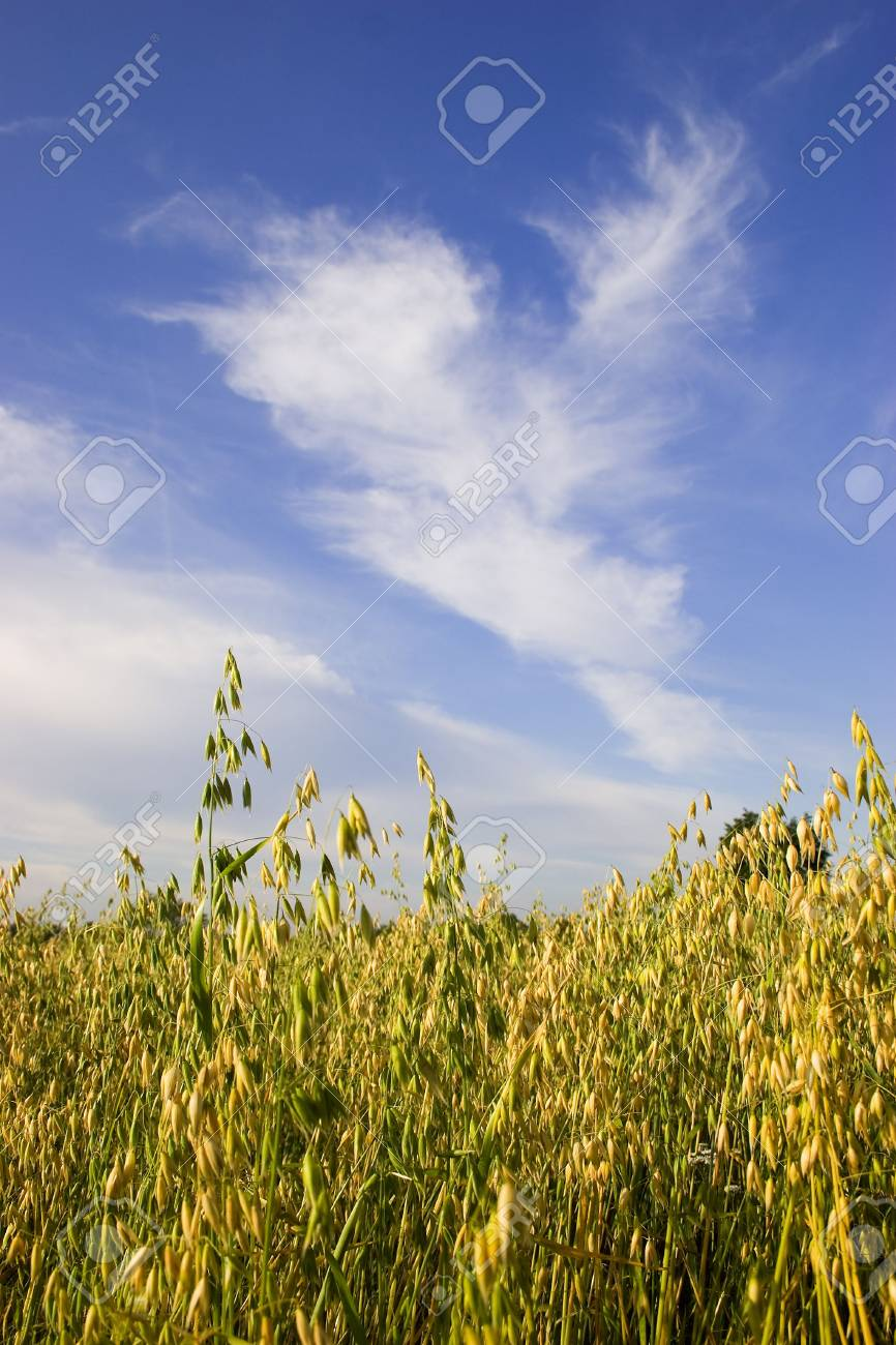 Field of oats against blue sky with white clouds Stock Photo - 3100563