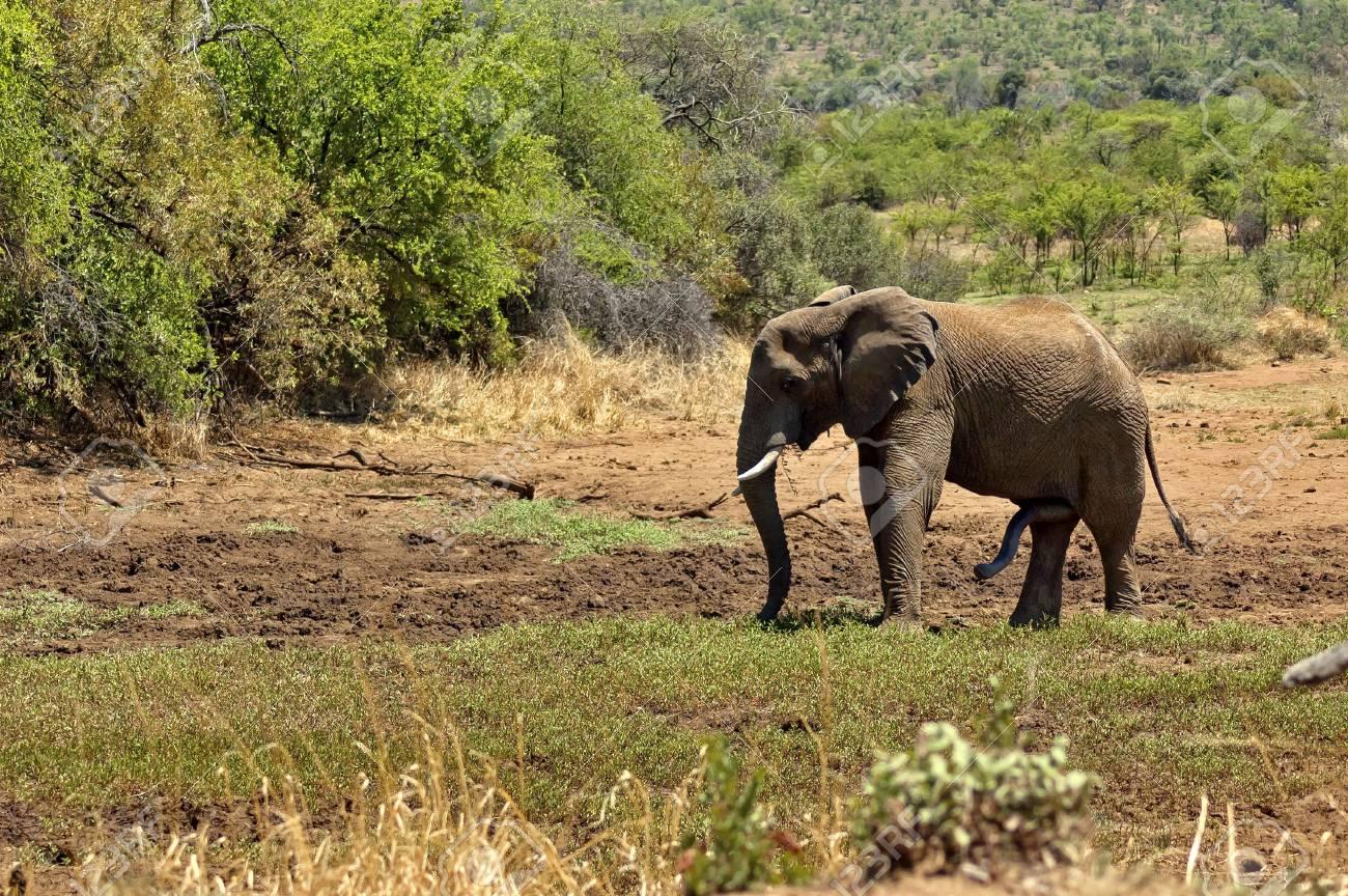 アフリカ象ピラネスバーグ国立公...