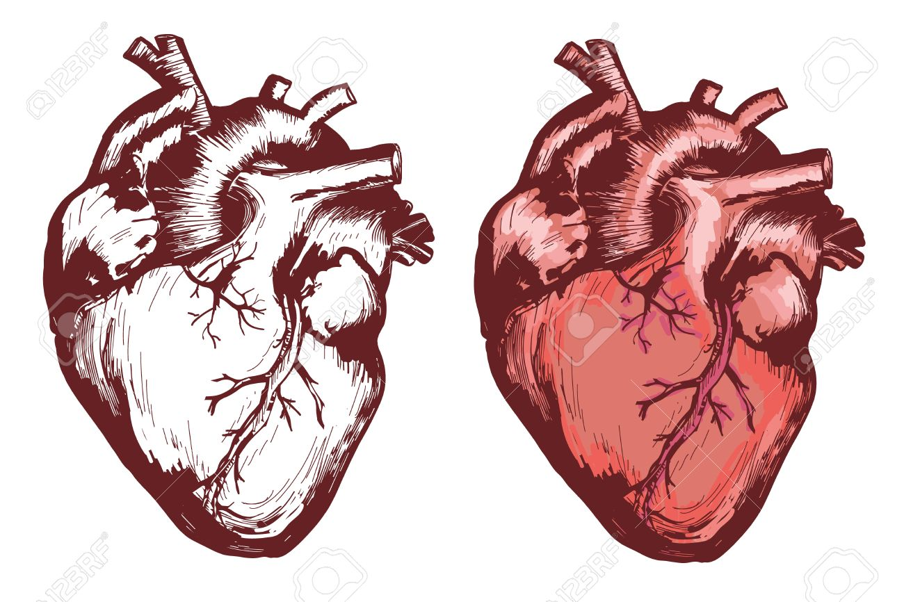 Human Heart, Anatomical Heart Hand Drawn Vector Illustration Royalty ...