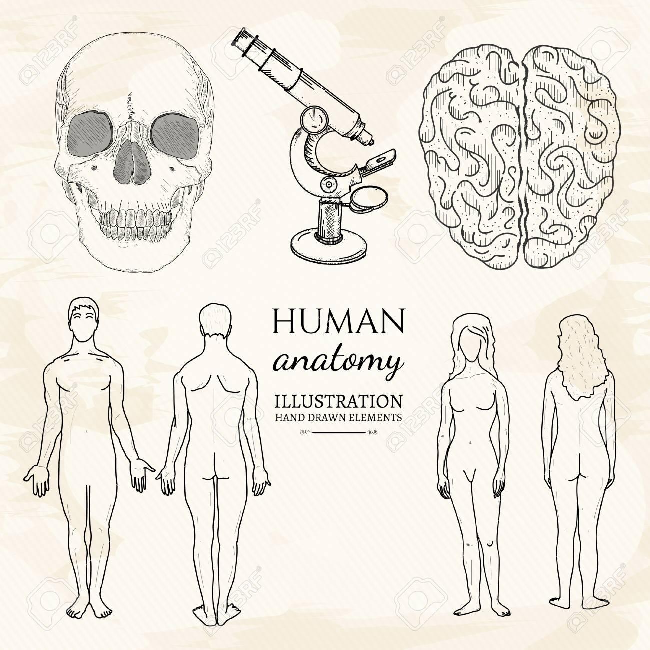 Anatomy Human Brain Human Skull Female Anatomy And Male Anatomy ...