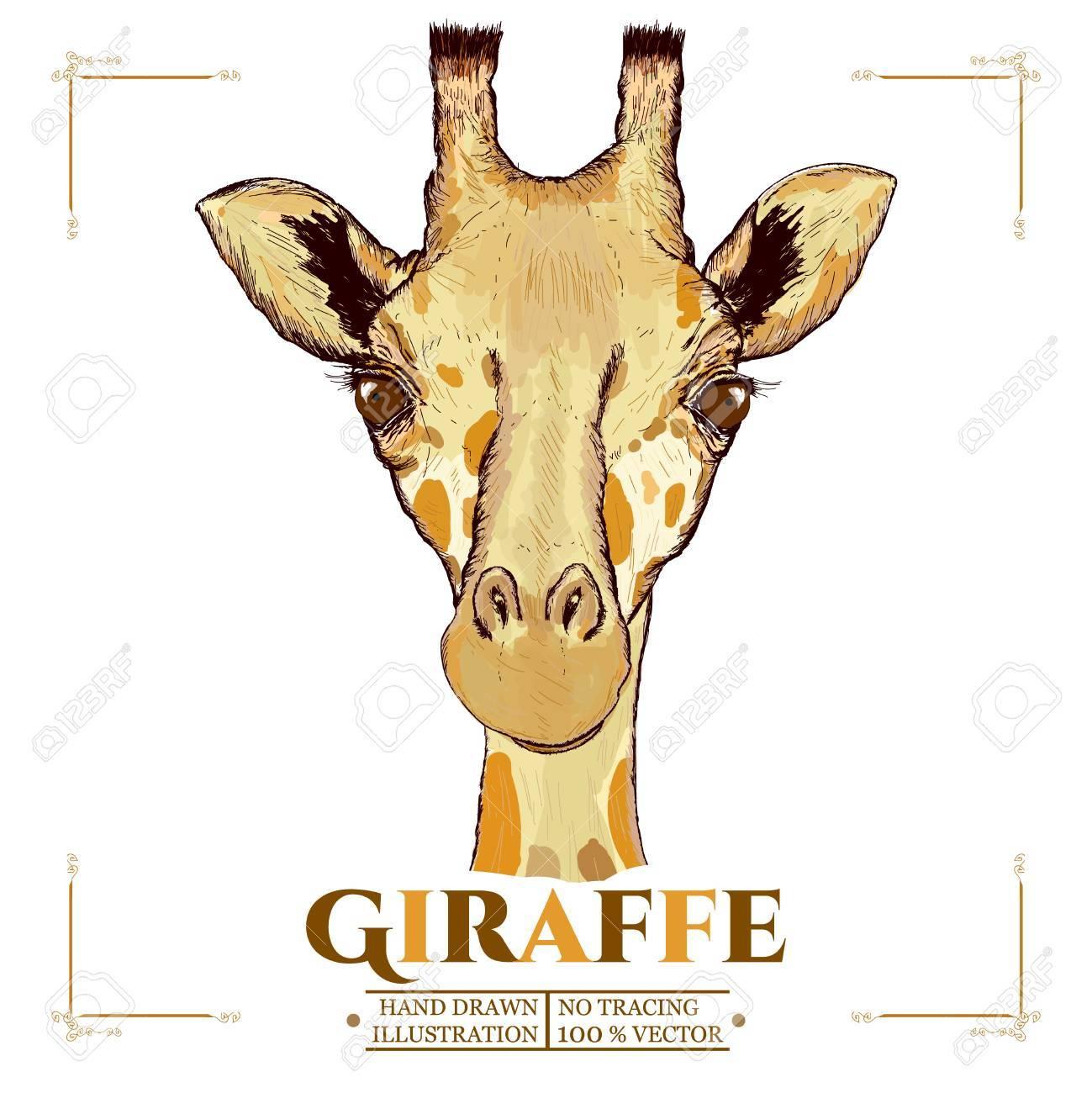 Giraffe realistic portrait, hand drawn animals vector - 57464615