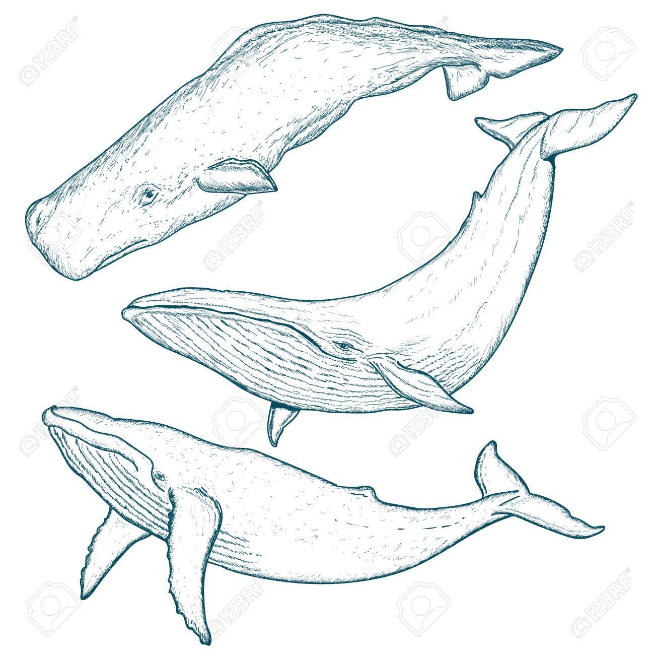 Les Baleines Fixees Vecteur Trace Baleine A Bosse Bleu Baleine