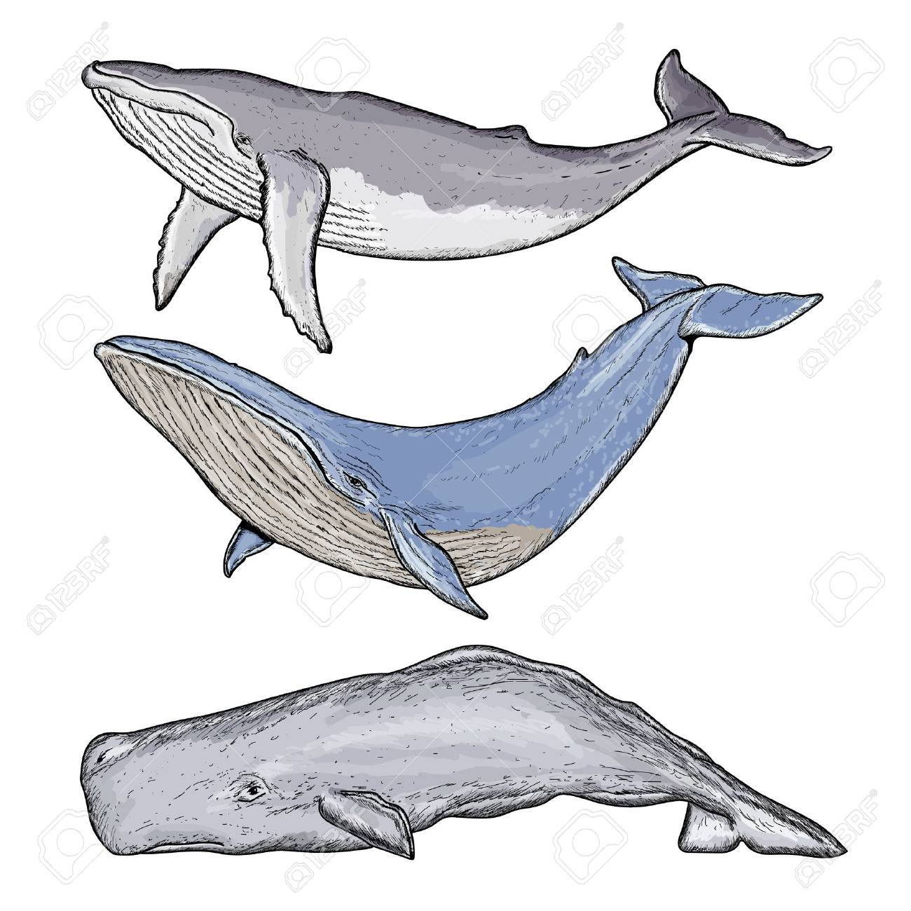 whales collection humpback whale blue whale whale hand