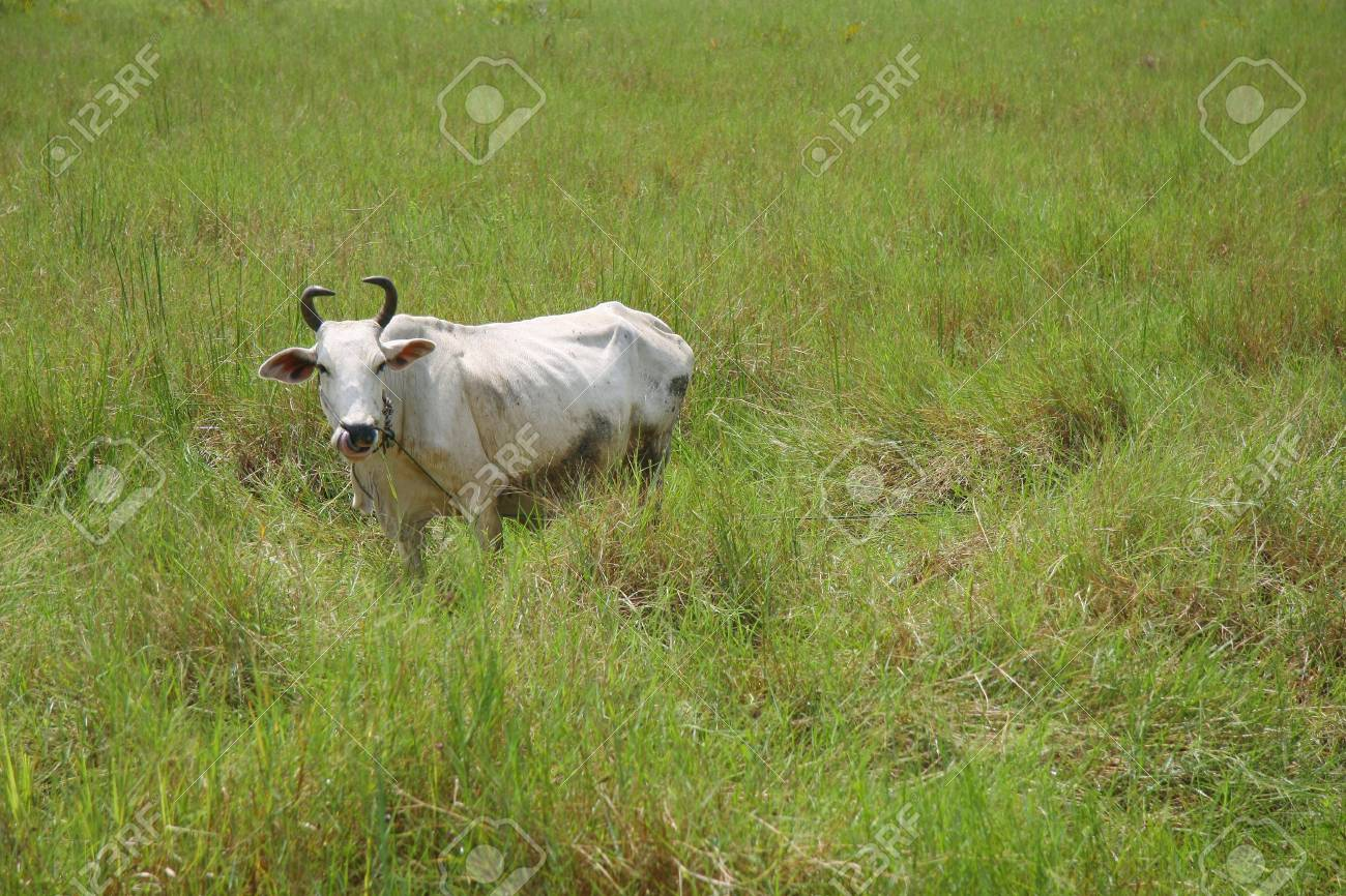 A cow standing in grazing field in rural area of Rayong province, Thailand. Stock Photo - 11546633
