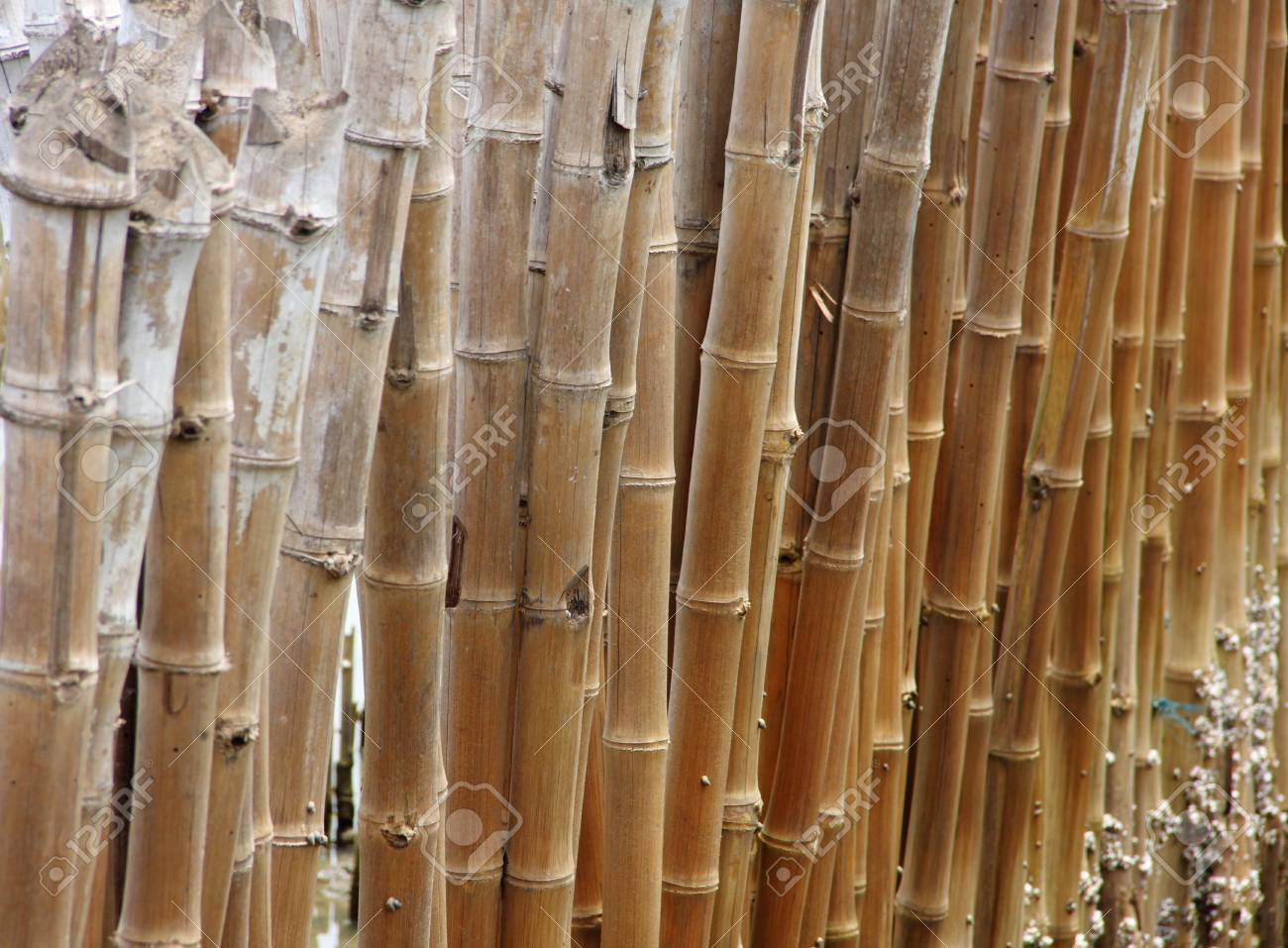 b4ea7f2bce7d row of cane or bamboo on the esteury Stock Photo - 14600216