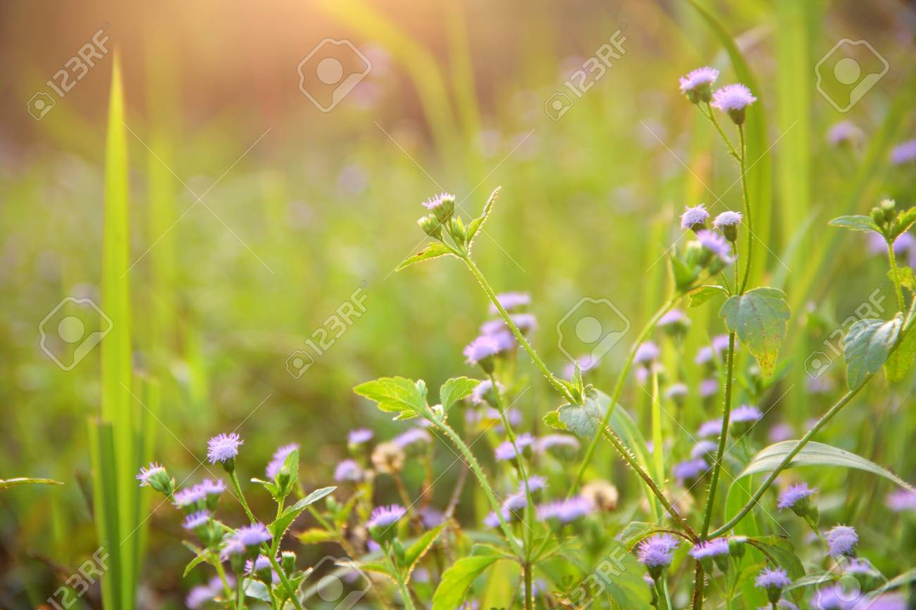 small purple flower in the morning, Thailand. Stock Photo - 16841082