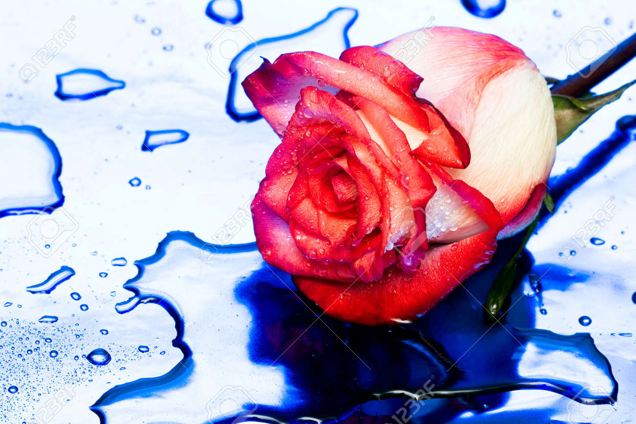 rose with water drops on blue Stock Photo - 3382899