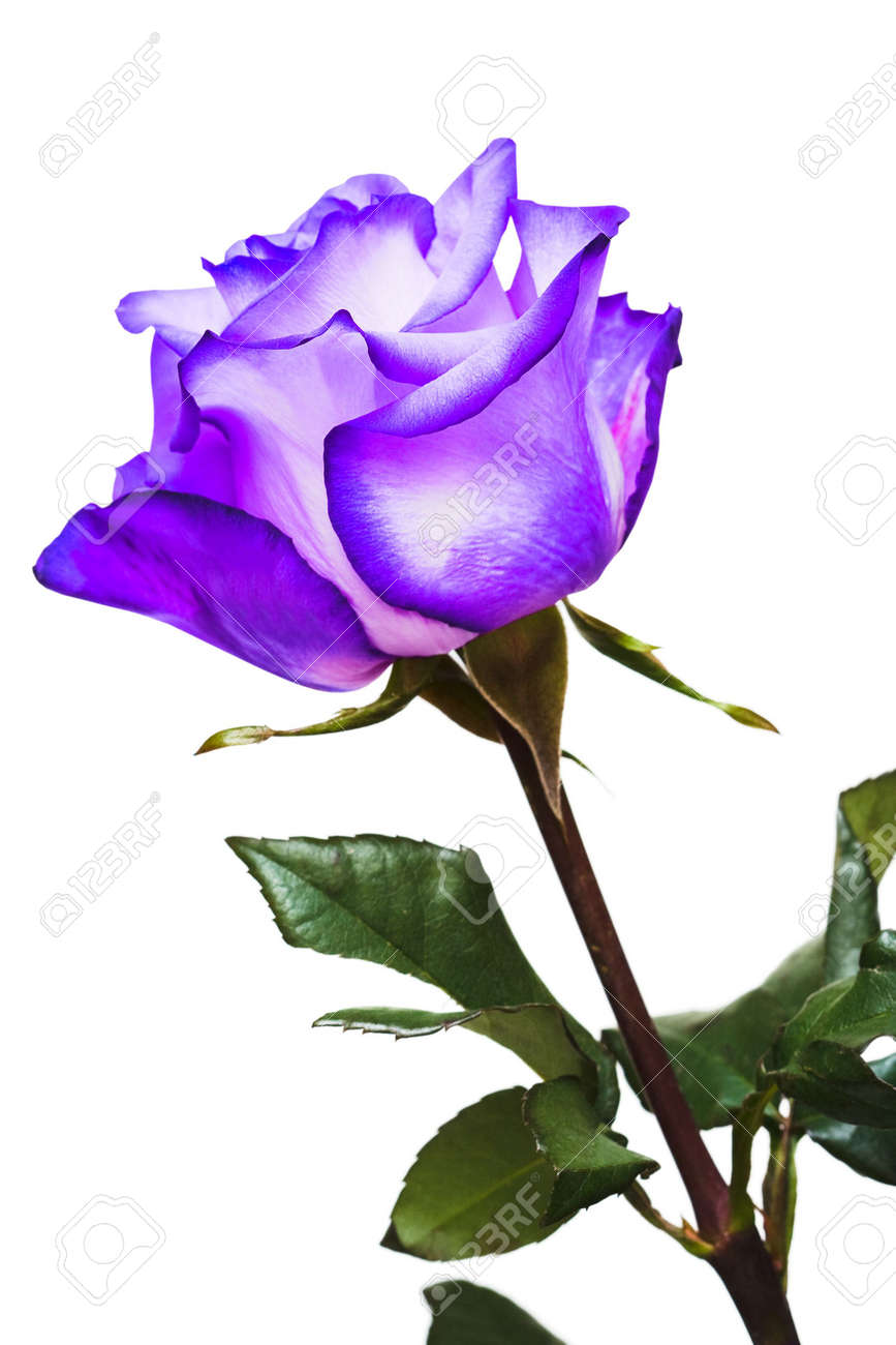 Violet Rose On White Background Stock Photo Picture And Royalty