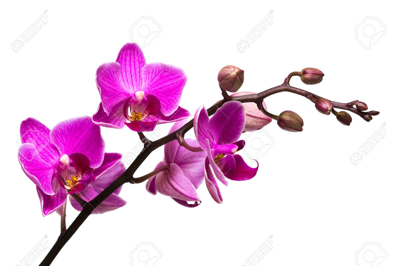orchid isolated on white background Stock Photo - 7781690