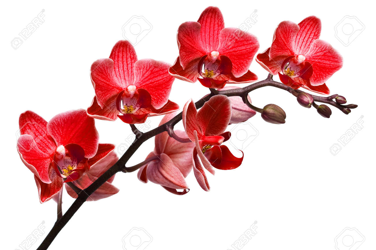 orchid isolated on white background Stock Photo - 8393245