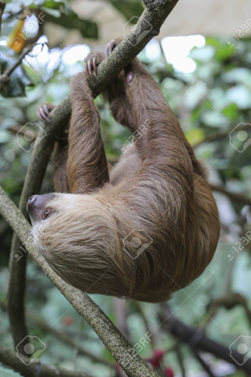 two toed sloth hanging from a branch stock photo picture and
