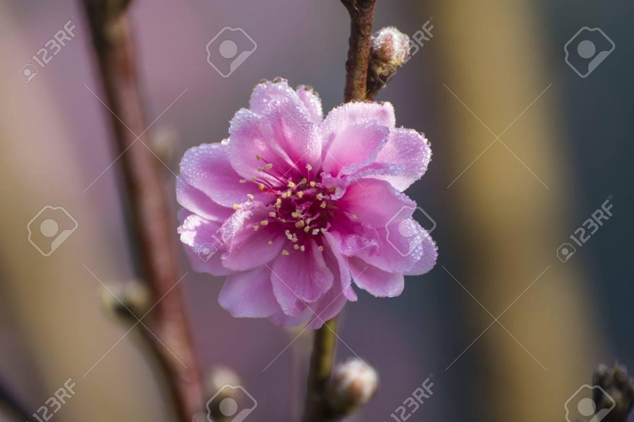 Fleur De Cerisier Avec Flou Artistique Gros Plan Fleurs De Pecher