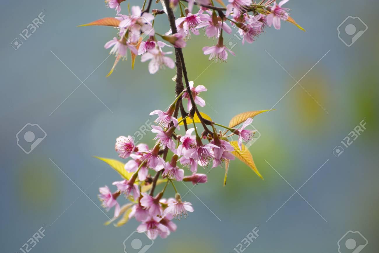Beautiful cherry blossoms pink flowers and blooming in the winter beautiful cherry blossoms pink flowers and blooming in the winter flower festival chaing izmirmasajfo
