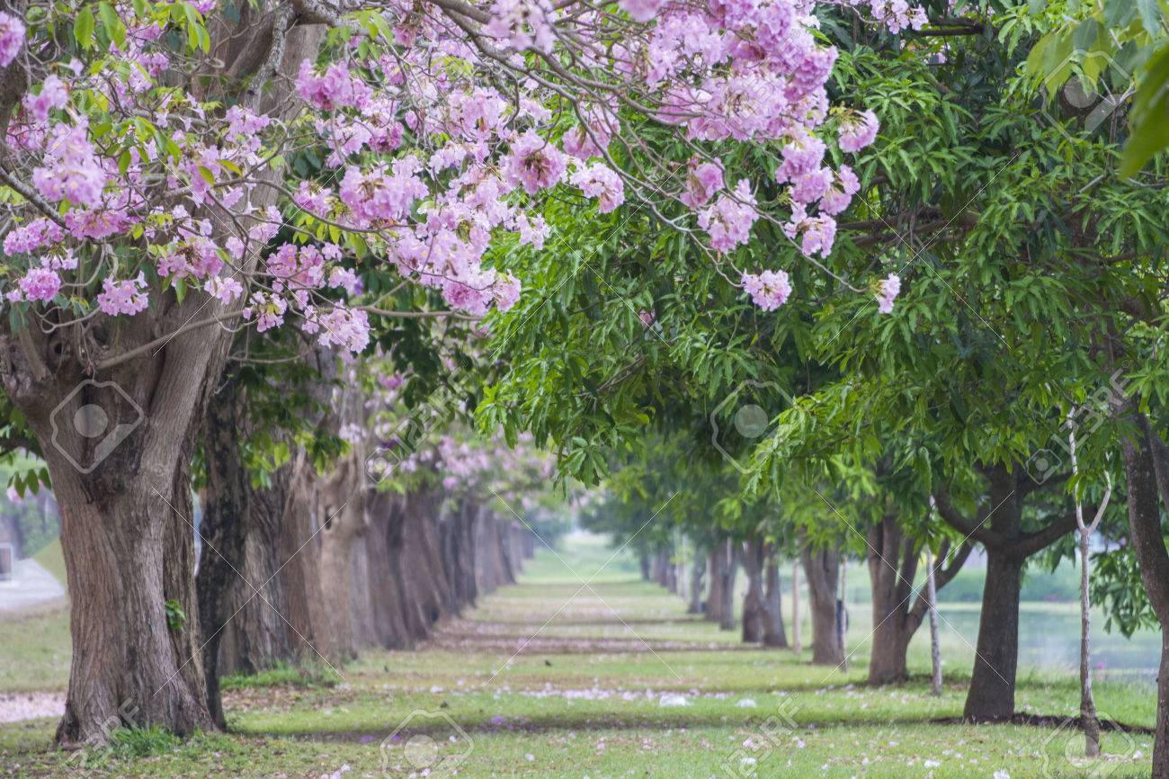 Tree tunnel the romantic tunnel of pink flower trees stock photo stock photo tree tunnel the romantic tunnel of pink flower trees mightylinksfo