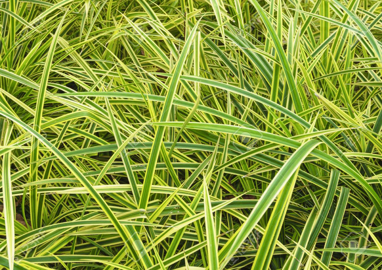 green leaves of chlorophytum comosum spider plant texture